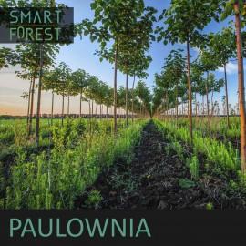 Paulownia [05.2020]