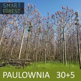 Paulownia [05.2020] 30 pcs (+5 gratis)