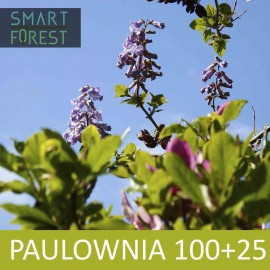 Paulownia [05.2020] 100 pcs (+25 gratis)